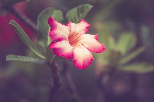 Desert Rose, Flower, Plant, Petals, Pink Flower, Bloom
