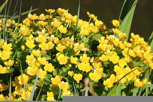 Marsh Marigold, Flowers, Plants, Caltha Palustris