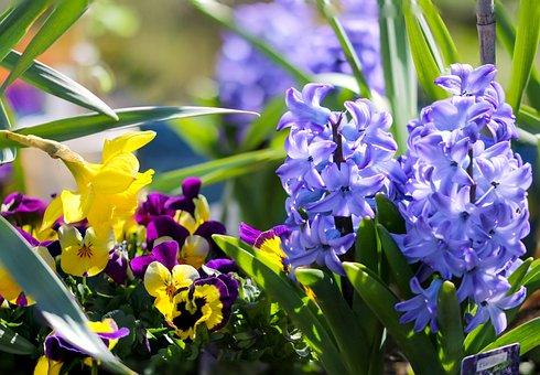 Flowers, Plants, Garden, Hyacinth, Pansy, Daffodil