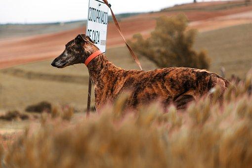 Spanish Greyhound, Dog, Pet, Animal, Greyhound