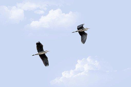 Herons, Birds In Flight, Gray Heron, Ardea Cinerea