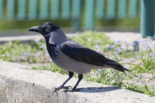 Crow, Bird, Concrete, Perched, Hooded Crow, Animal