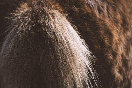 Horse, Animal, Tail, Horse Tail, Pony, Icelandic Pony