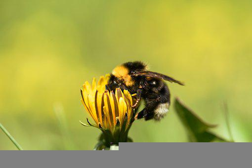 Bee, Insect, Flower, Dandelion, Hymenoptera, Plant