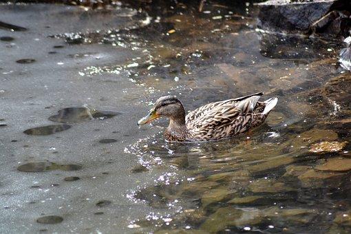 Duck, Plumage, Nature, Bird, Lake, Spring, Water, Pond