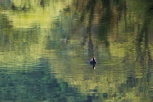 Coot, Bird, Fulica Linnaeus, Lake