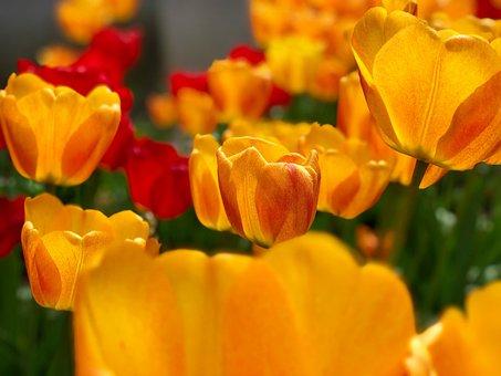 Tulips, Yellow Tulips, Flowers, Yellow Flowers, Petals