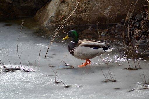 Nature, Duck, Plumage, Bird, Lake, Spring, Water, Pond