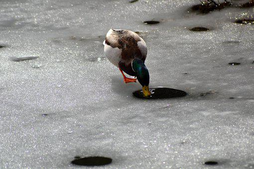 Nature, Duck, Plumage, Bird, Lake, Water, Pond, Ice