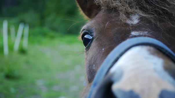 The Horse, Pony, Steed, The Head Of The, Eye, Green