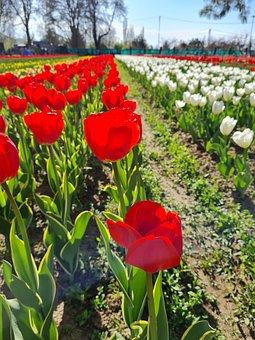 Tulips, Flowers, Field, Red Tulips, Bloom, Plants