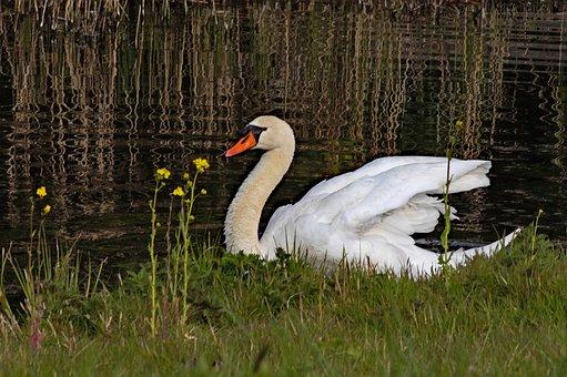 Swan, Bird, Lake, Mute Swan, Cygnus Cygnus, White Swan