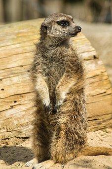 Meerkat, Animal, Zoo, Suricate, Mongoose, Mammal