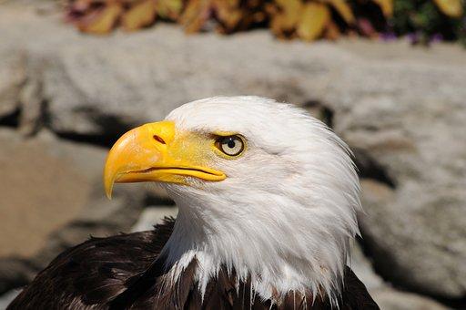 Eagle, Bird, Portrait, Head, Beak, Animal, Bird Of Prey