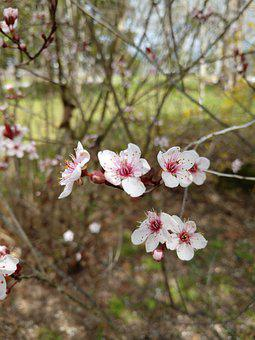 Apple Blossom, Flowers, Spring, Bloom, Blossom, Branch