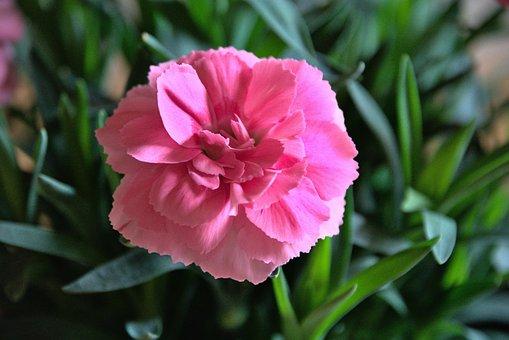 Carnation, Flower, Plant, Pink Flower, Petals, Bloom