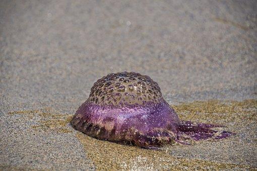 Jellyfish, Animal, Sand, Coast, Shore, Marine, Aquatic