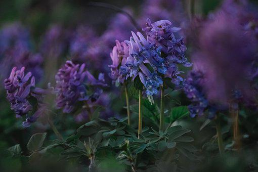 Corydalis, Flowers, Flower, Spring, Bloom, Plant, Fauna