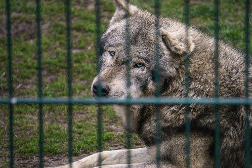 Wolf, Fence, Zoo, Grid, Animal, Mammal, Canine