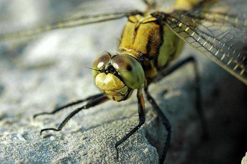 Dragonfly, Insect, Head, Eyes, Odonata, Anisoptera