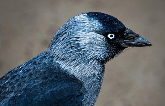 Jackdaw, Crow, Magpie, Bird, Close Up, Eye, Portrait