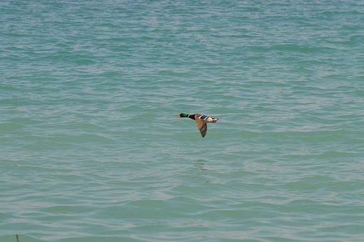 Duck, Flying, Lake, Mallard, Bird, Anatidae, Waterfowl