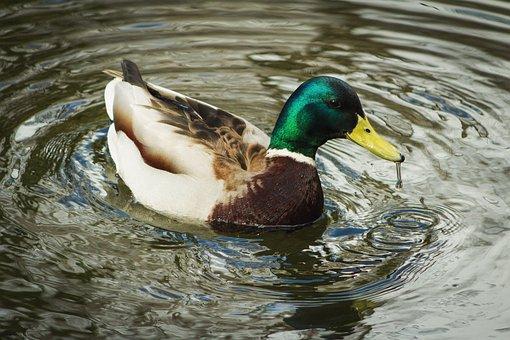 Duck, Bird, Mallard, Water, Waterfowl, Water Bird, Ave