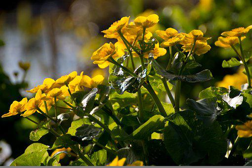 Marsh Marigolds, Yellow Flowers, Caltha Palustris