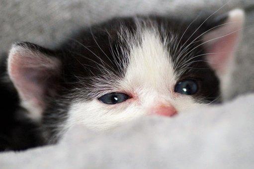 Cat, Kitten, Pet, Young Cat, Animal, Domestic Cat