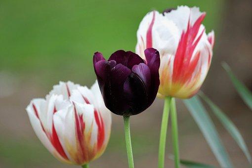 Tulips, Flowers, Garden, Meadow, Petals, Bloom