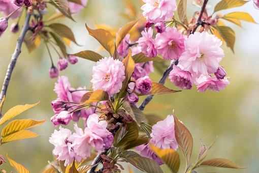 Sakura, Pink Flowers, Flowers, Tree, Branches, Blossom