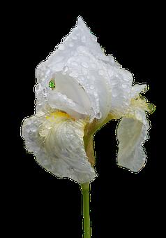 Iris, Flower, Dew, Wet, Dewdrops, Raindrops, Plant