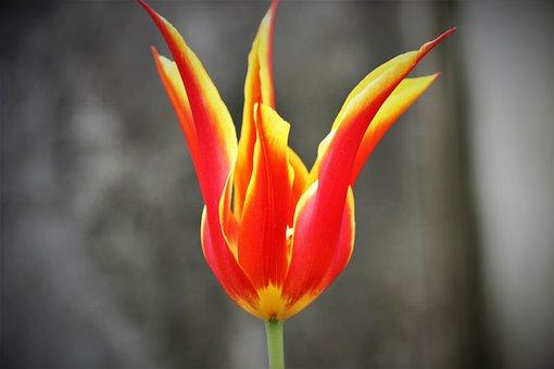 Tulip, Flower, Plant, Lady Tulip, Petals, Bloom