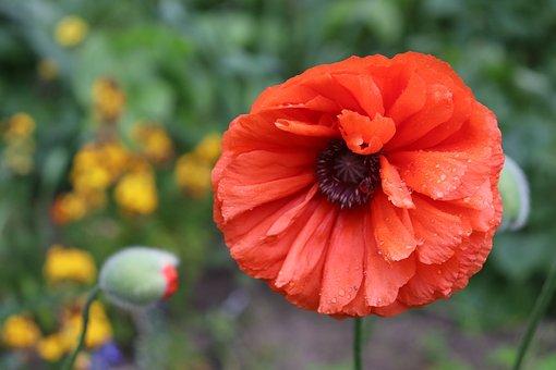 Poppy Flower, Poppy, Flower, Red Poppy