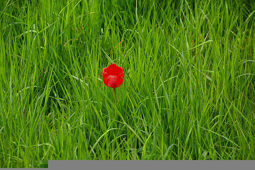 Tulip, Flower, Meadow, Grasses, Red Tulip, Red Flower
