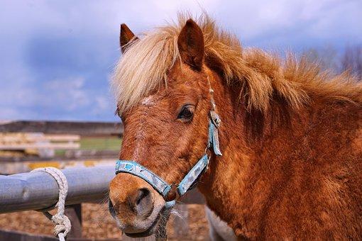 Horse, Pony, Ride, Mane, Horse Head, Rural, Farm