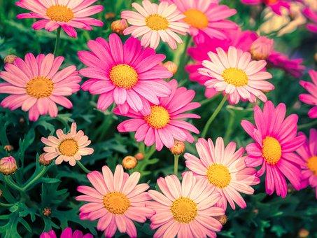 Marguerite, Flowers, Plants, Shrub Marguerite, Petals