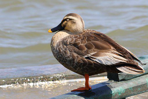 Duck, Mallard, Lake, Bird, Waterfowl, Water Bird