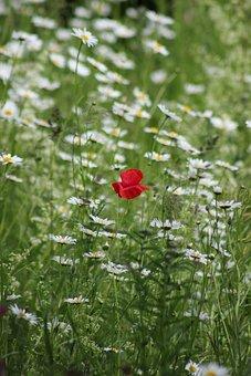 Poppy, Daisies, Meadow, Field, Wildflowers, Red Poppy