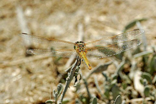 Dragonfly, Insect, Wings, Anisoptera, Odonata