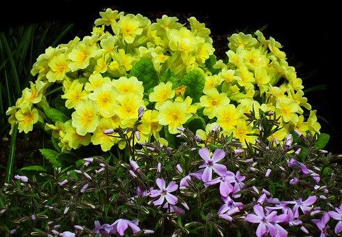 Flowers, Primula, Yellow, Petals, Floriculture
