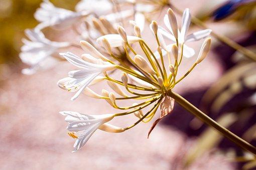 Agapanthus, White, White Jewelry Lily, Amaryllidaceae