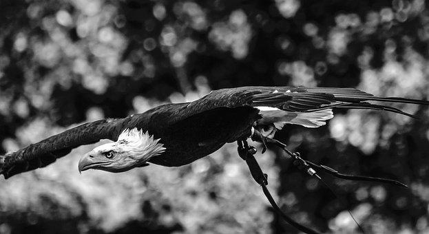 Adler, Raptor, Bird Of Prey, Bird, Nature, Animal