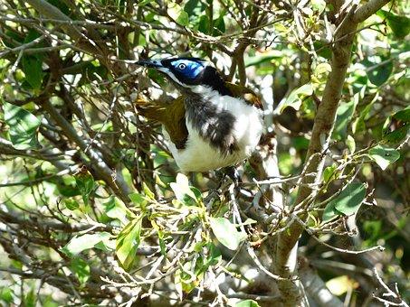 Blue Ear-honey-eater, Bird, Exot, Australia