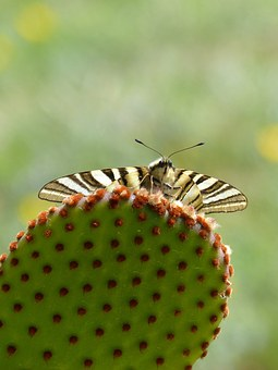 Machaon, Cactus, Butterfly Queen, Opuntia