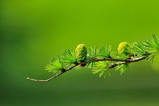 Larch, Conifer Cone, Branch, Tree, Nature, Conifer