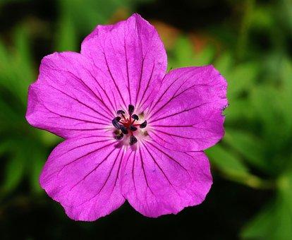 Crane's-bill, Flower, Blossom, Bloom, Purple Flower