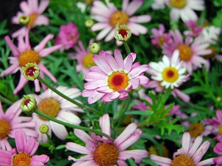 Flowers, Pink Daisy, Nature