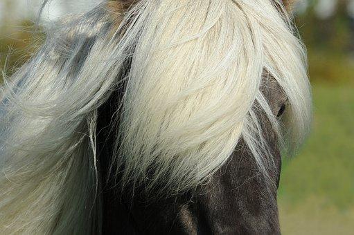 Horse, Iceland Horse, Icelanders, Mane, Iceland Pony