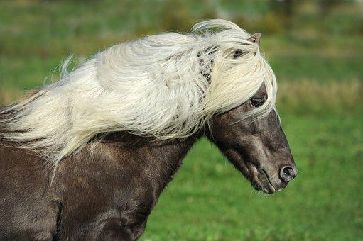 Horse, Iceland Horse, Pony, Iceland Pony, Mane, Nature
